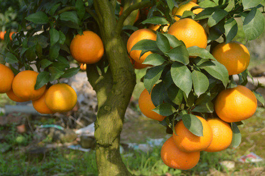 爱媛38果冻橙